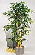 Bambus japonica 120 cm