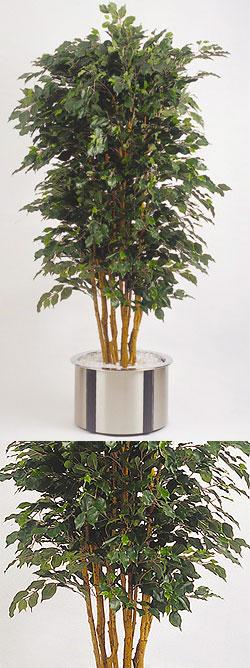 Ficus benjamina Top 210 cm #2