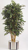Ficus benjamina Top 210 cm