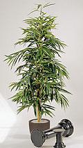 Ficus longifolia 180 cm