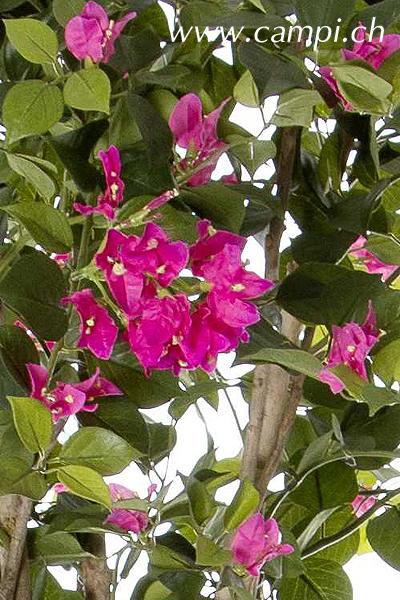 Bougainvillea mit pink Blüten Ø 70 x 140 cm #3