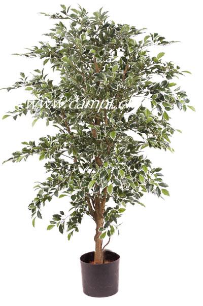 Ficus benjamina panachiert 140 cm