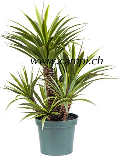Aloe Ferox 100 cm