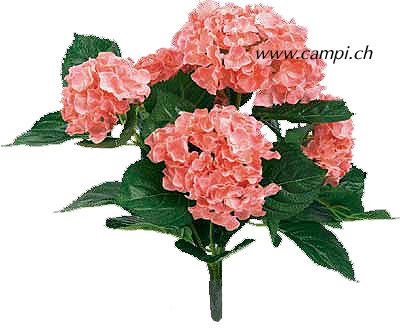 Hortensie (Hydrangea) rosa  Ø35x40 cm Pin