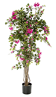 Bougainvillea mit pink Blüten Ø 70 x 140 cm