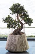 Ficus panda Bonsai 80 cm